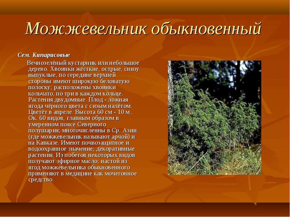 Можжевельник обыкновенный Сем. Кипарисовые Вечнозелёный кустарник или небольш...