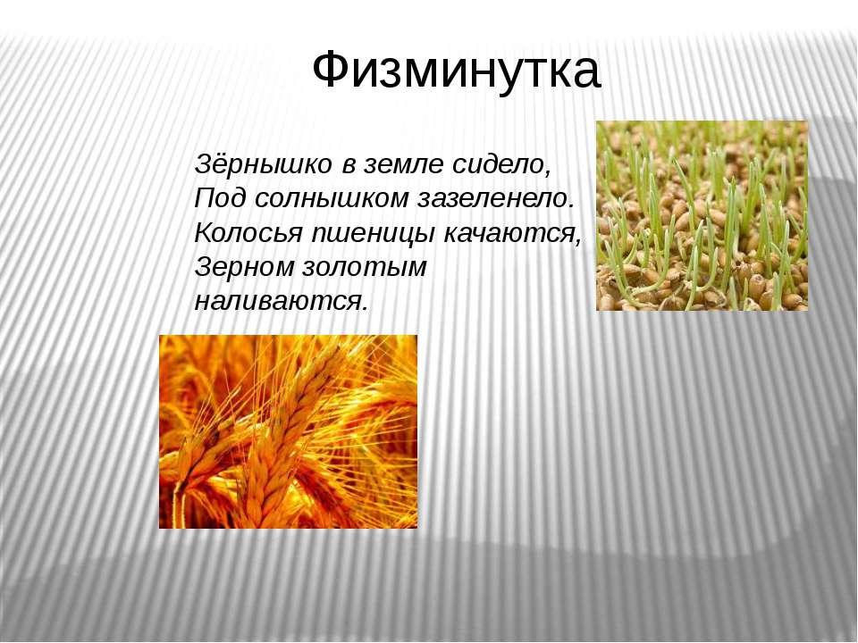 Физминутка Зёрнышко в земле сидело, Под солнышком зазеленело. Колосья пшеницы...