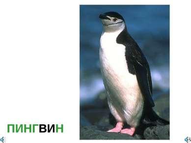ПИНГВИН Полное название Pygoscelis antarctica — Пингвин антарктический Занесё...