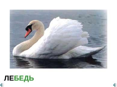 ЛЕБЕДЬ Cygnus sp. — Лебедь Отряд Гусеобразные (Anseriformes): Семейство Утины...
