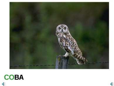СОВА Asio flammeus Сова болотная Отряд Совообразные (Strigiformes): Семейство...