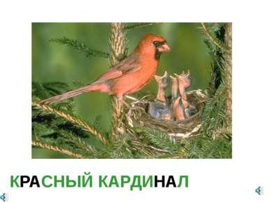 КРАСНЫЙ КАРДИНАЛ Cardinalis (Richmondena) cardinalis — Кардинал красный, или ...