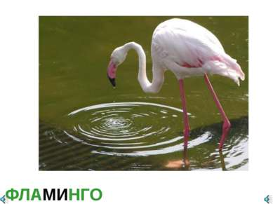 ФЛАМИНГО Фламинго обыкновенный, или розовый Phoenicopterus roseus (Ph. ruber ...