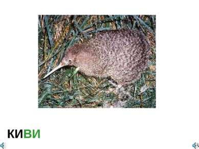 КИВИ Apteryx owenii — Киви малый, или оуэнов Отряд Кивиобразные (Apterygiform...