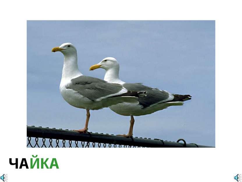ЧАЙКА Larus marinus – чайка большая морская Отряд Ржанкообразные (Charadriifo...
