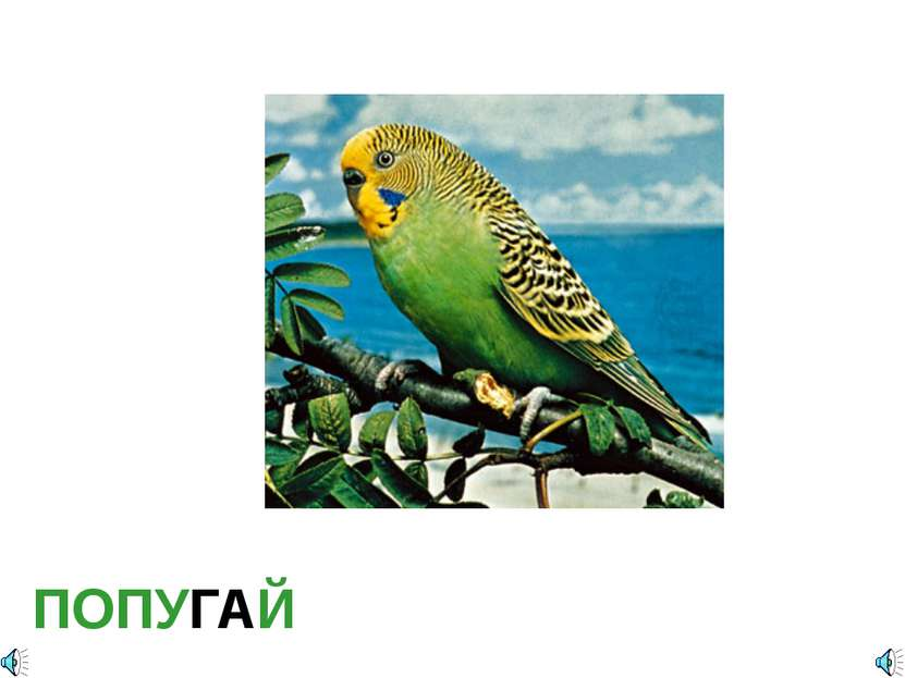 ПОПУГАЙ Попугайчик волнистый Отряд Попугаеобразные (Psittaciformes): Семейств...