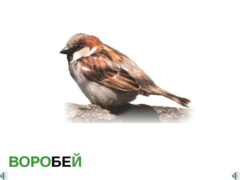 ВОРОБЕЙ Воробей домовой — Passer domesticus Отряд Воробьинообразные (Passerif...