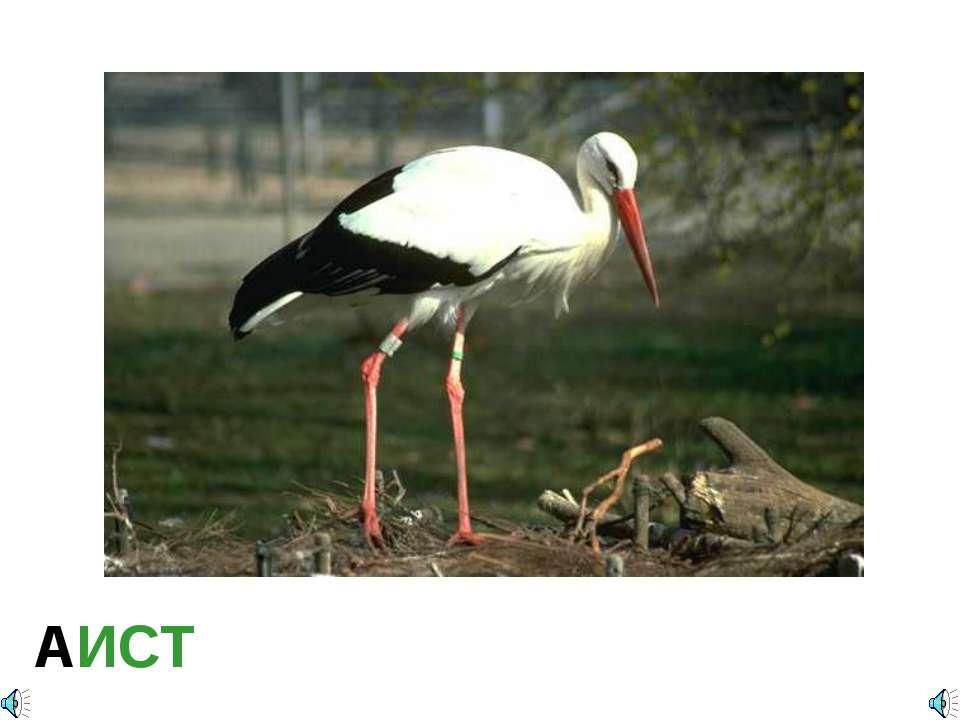 АИСТ Ciconia ciconia — Аист белый Отряд Аистообразные, или Голенастые (Ciconi...