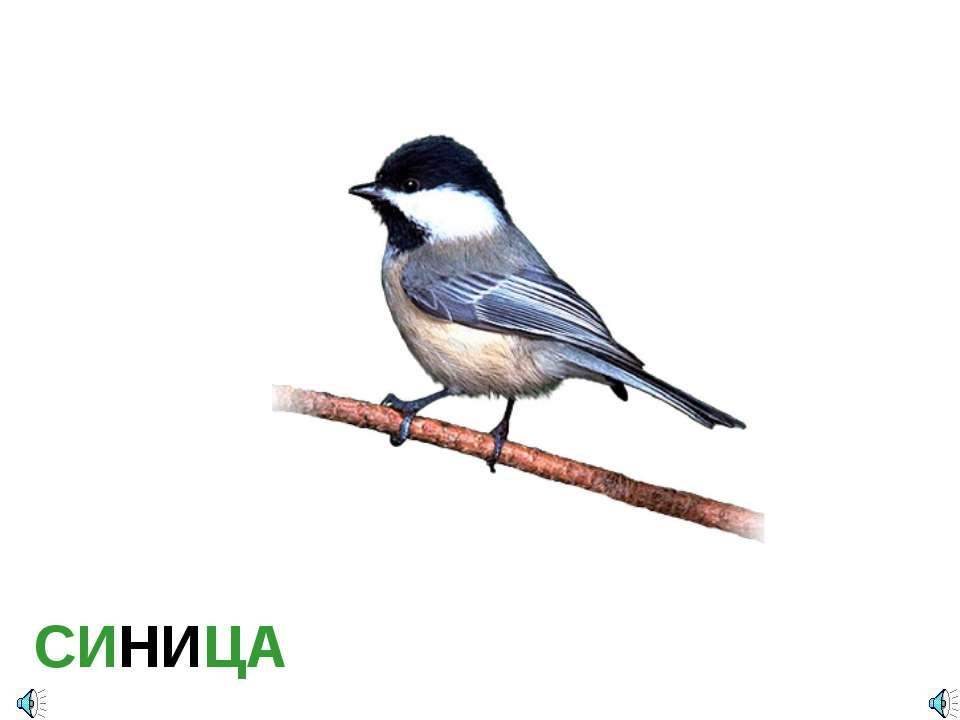 СИНИЦА Parus major — Синица большая Отряд Воробьинообразные (Passeriformes): ...
