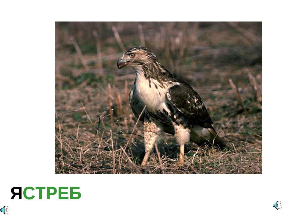 ЯСТРЕБ Accipiter sp. — Ястреб Отряд Соколообразные, или Хищные птицы (Falconi...