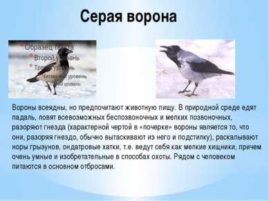Серая ворона Вороны всеядны, но предпочитают животную пищу. В природной среде...