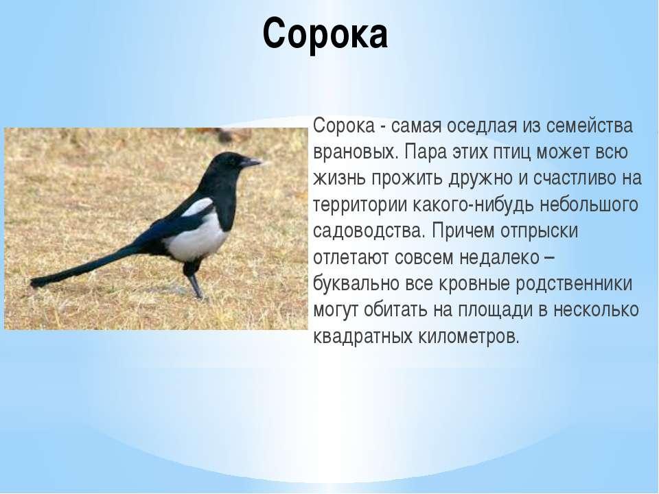 Сорока Сорока - самая оседлая из семейства врановых. Пара этих птиц может всю...