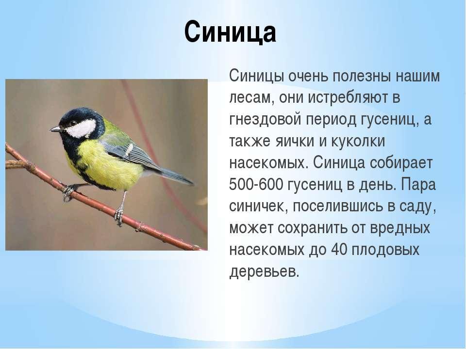 Синица Синицы очень полезны нашим лесам, они истребляют в гнездовой период гу...
