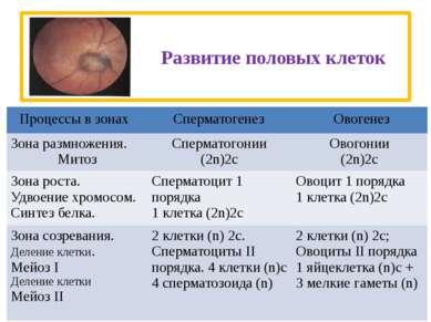 Развитие половых клеток Процессы в зонах Сперматогенез Овогенез Зона размноже...