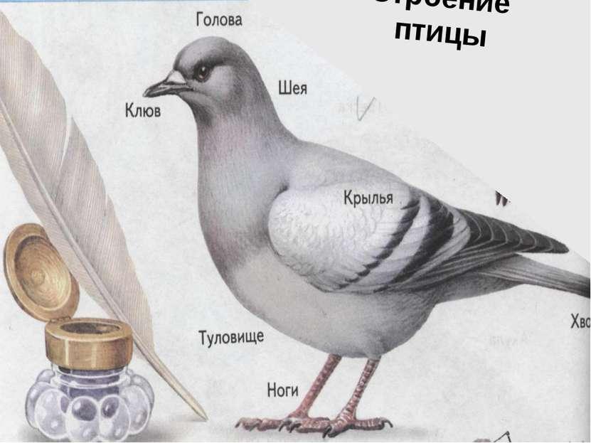 Строение птицы