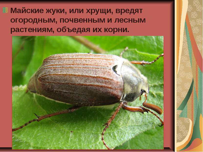 Майские жуки, или хрущи, вредят огородным, почвенным и лесным растениям, объе...