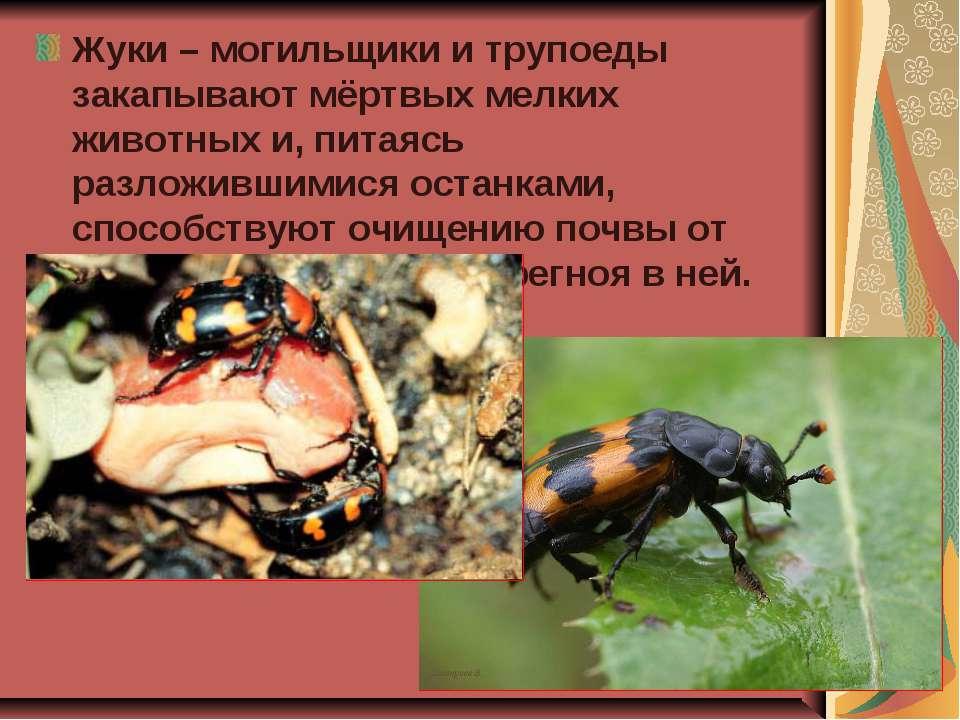 Жуки – могильщики и трупоеды закапывают мёртвых мелких животных и, питаясь ра...