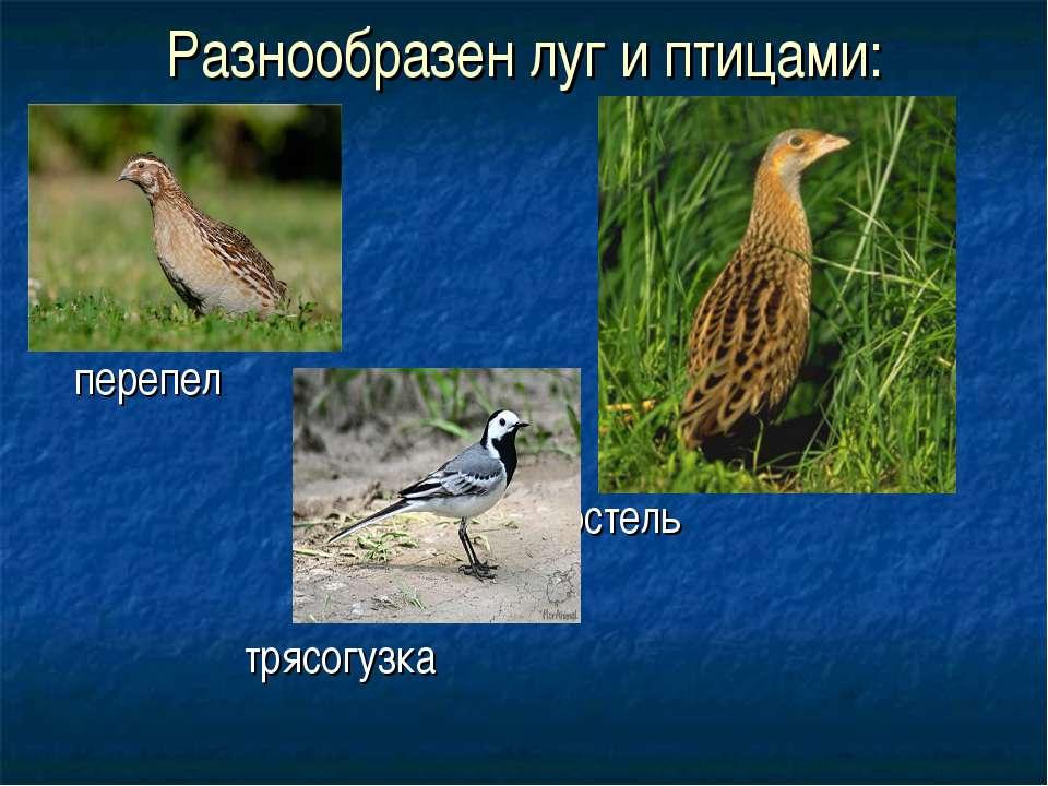 Разнообразен луг и птицами: перепел коростель трясогузка