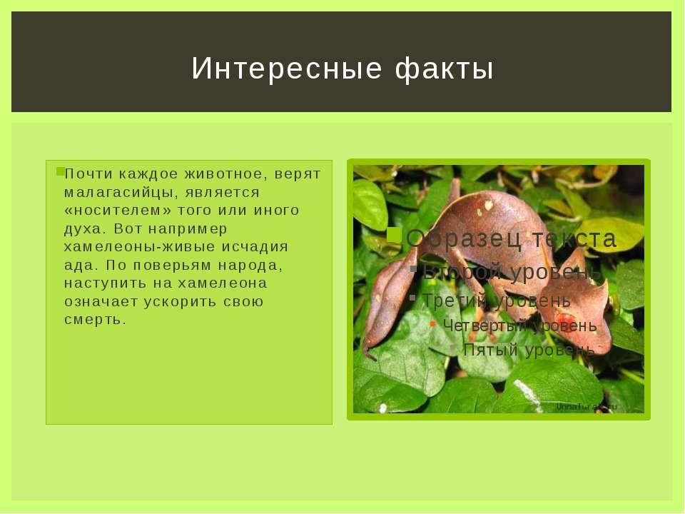 Почти каждое животное, верят малагасийцы, является «носителем» того или иного...