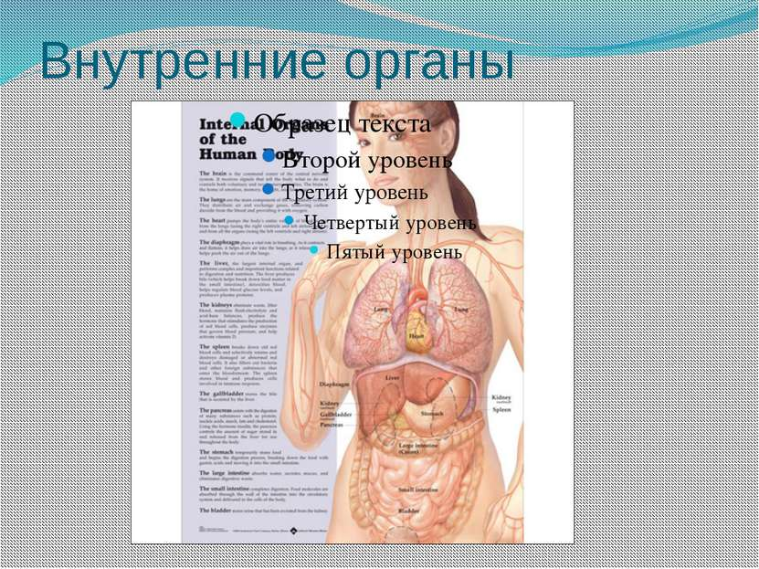 Внутренние органы
