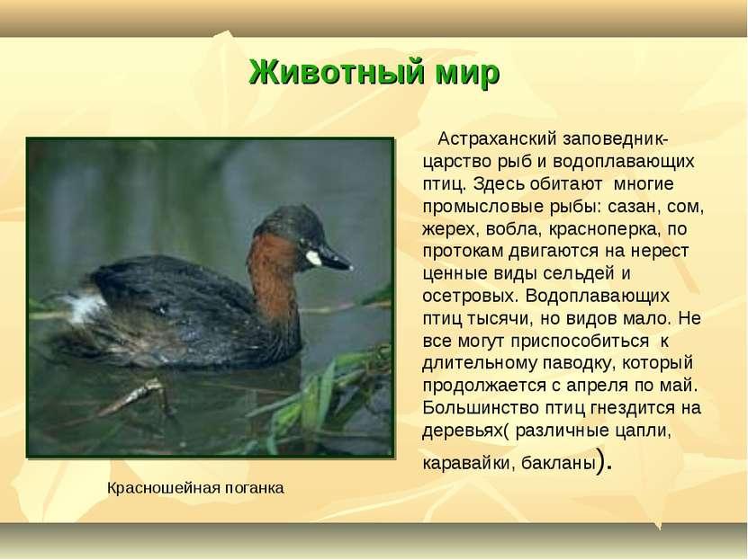 Животный мир Астраханский заповедник- царство рыб и водоплавающих птиц. Здесь...