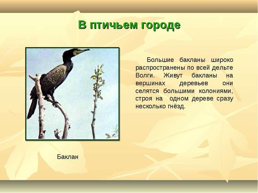 В птичьем городе Большие бакланы широко распространены по всей дельте Волги. ...