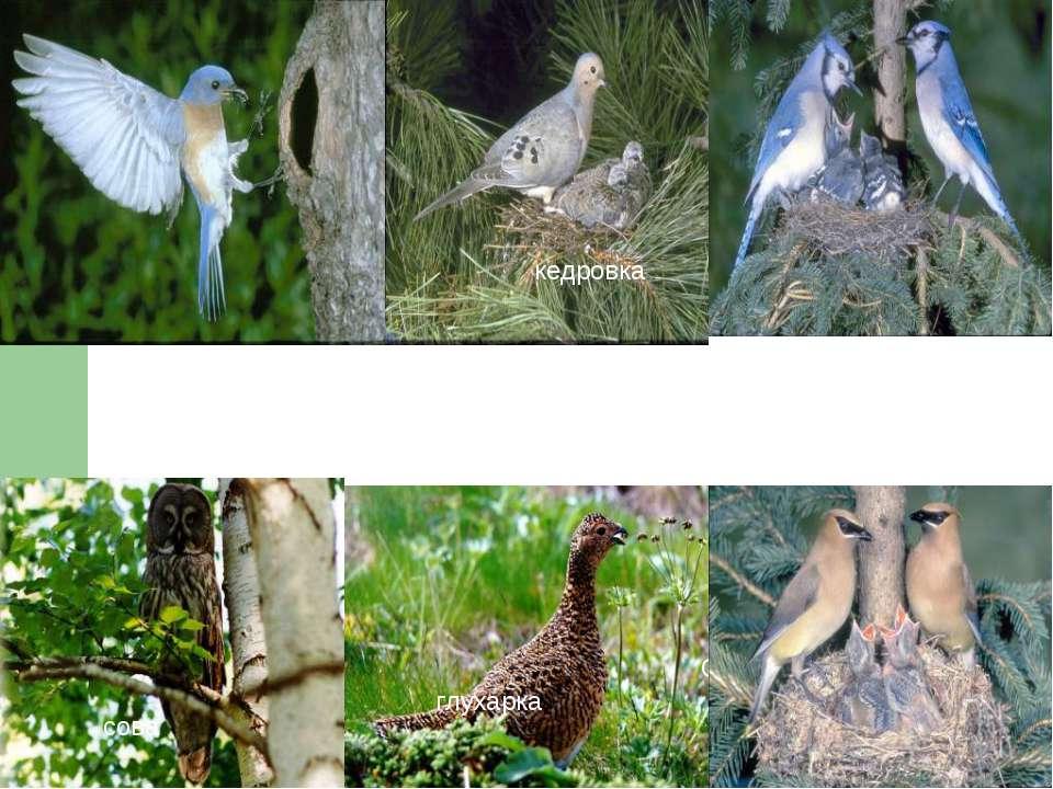 ГЛУХАРКА СОВА кедровка глухарка сова