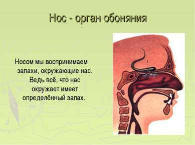 Нос - орган обоняния Носом мы воспринимаем запахи, окружающие нас. Ведь всё, ...