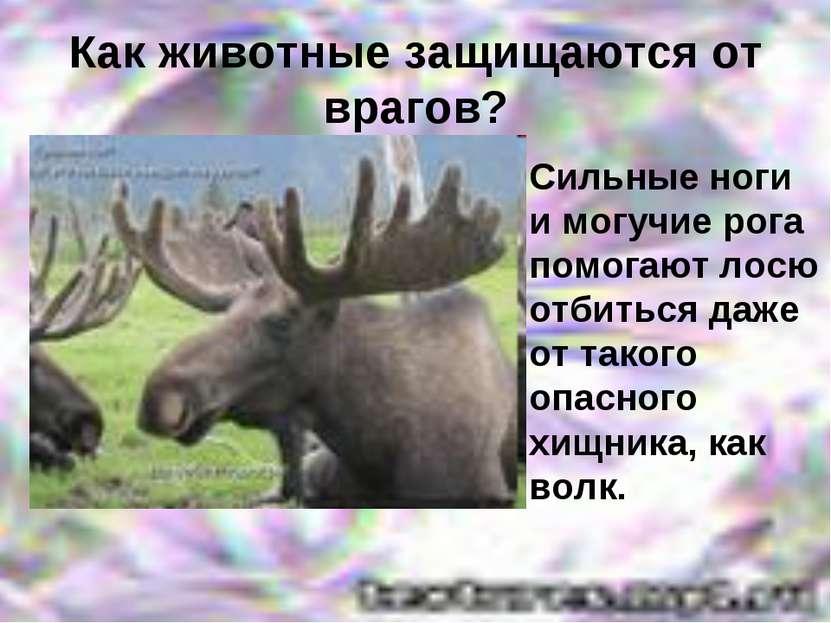 Как животные защищаются от врагов? Сильные ноги и могучие рога помогают лосю ...