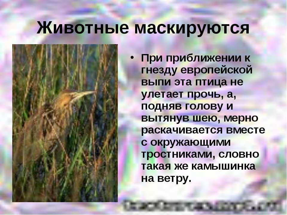 Животные маскируются При приближении к гнезду европейской выпи эта птица не у...