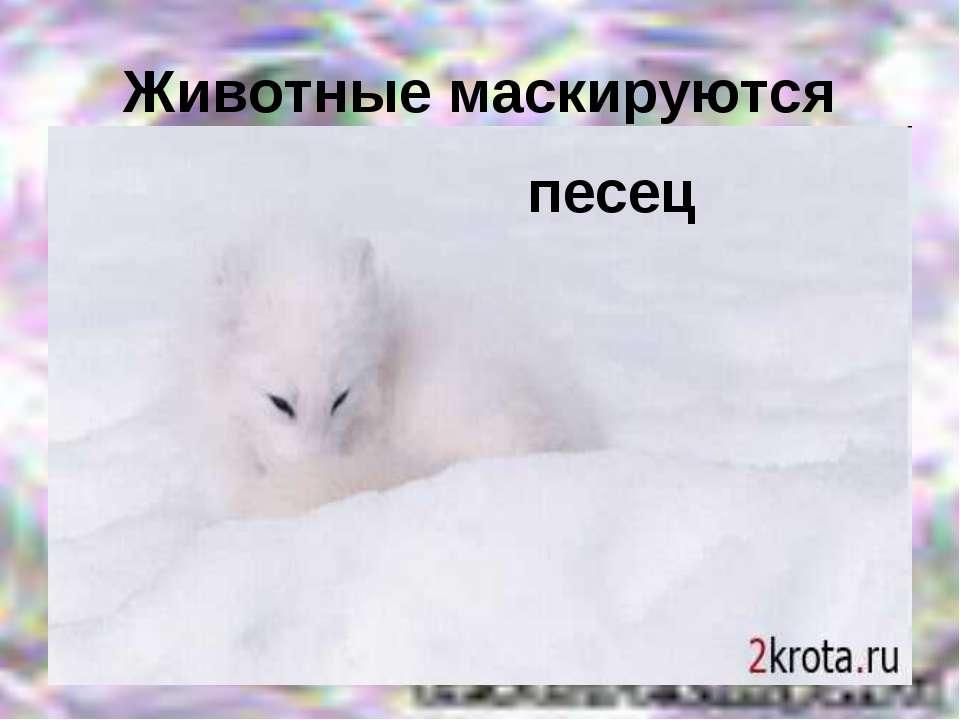 Животные маскируются песец