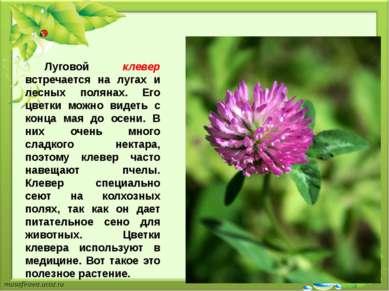 Луговой клевер встречается на лугах и лесных полянах. Его цветки можно видеть...