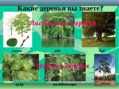 Какие деревья вы знаете? осина ива дуб кедр лиственница сосна Лиственные дере...