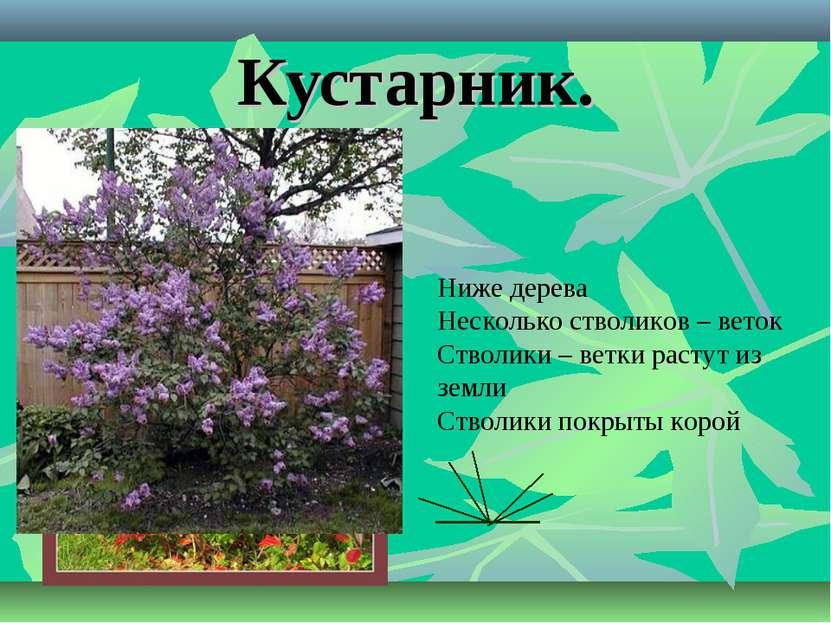 Кустарник. Ниже дерева Несколько стволиков – веток Стволики – ветки растут из...