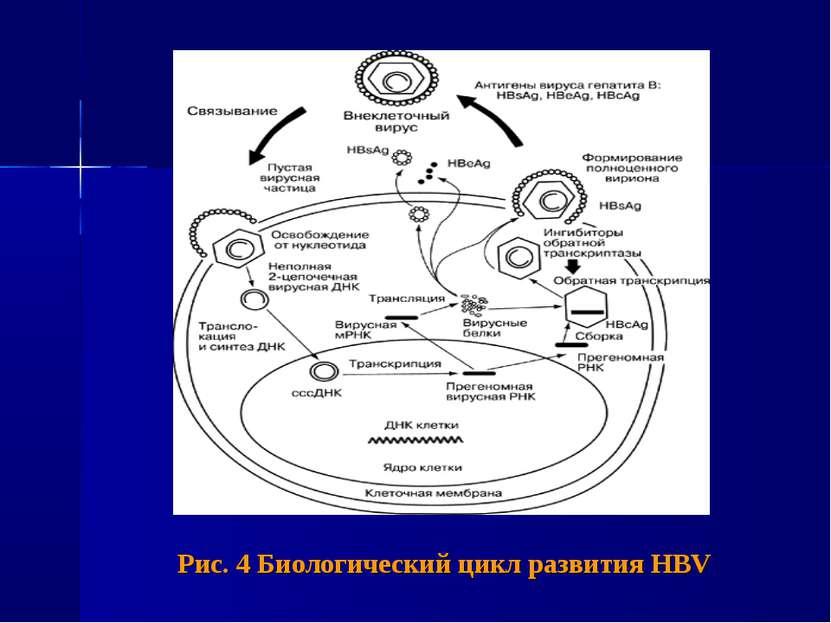 Рис. 4 Биологический цикл развития HBV