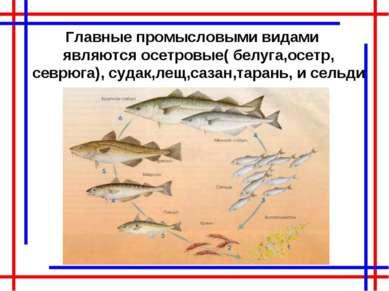 Главные промысловыми видами являются осетровые( белуга,осетр, севрюга), судак...