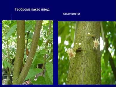 Теоброма какао плод какао цветы