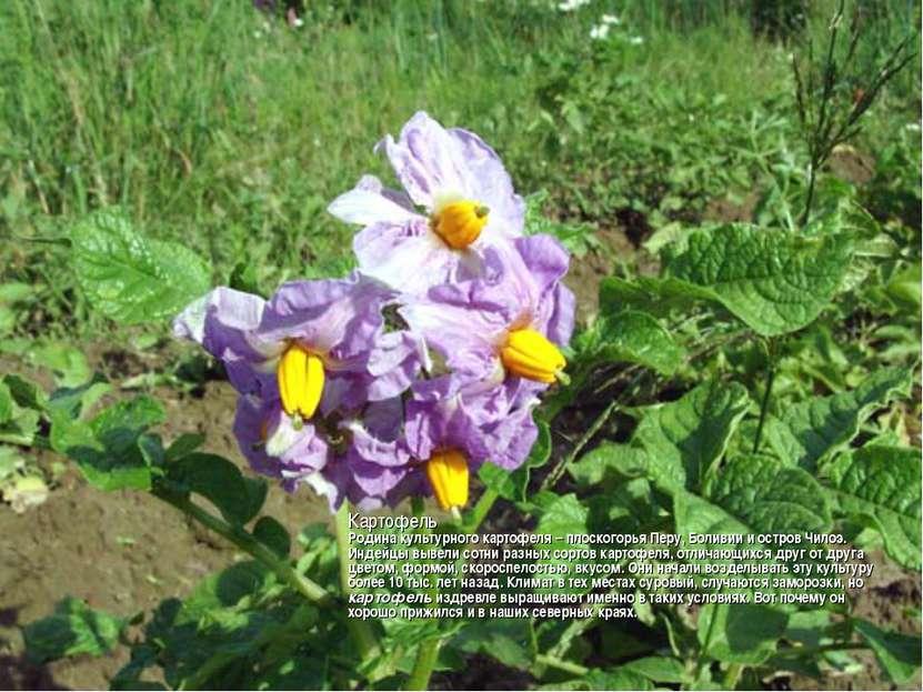 Картофель Родина культурного картофеля – плоскогорья Перу, Боливии и остров Ч...