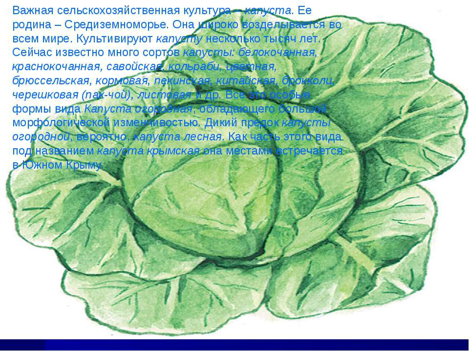 Важная сельскохозяйственная культура – капуста. Ее родина – Средиземноморье. ...