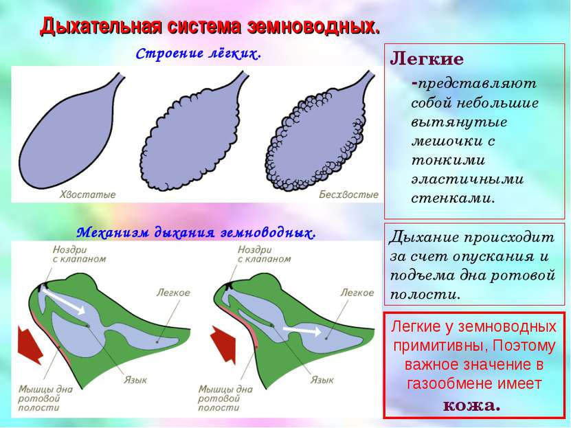Дыхательная система земноводных. Строение лёгких. Механизм дыхания земноводны...