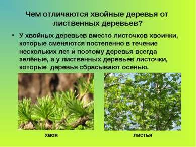 Чем отличаются хвойные деревья от лиственных деревьев? У хвойных деревьев вме...