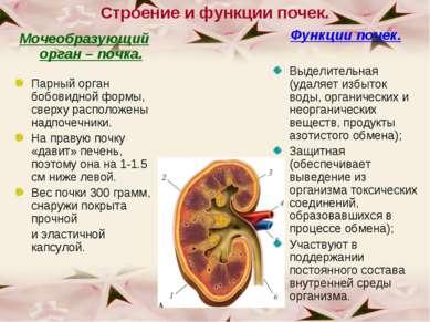 Строение и функции почек. Мочеобразующий орган – почка. Парный орган бобовидн...