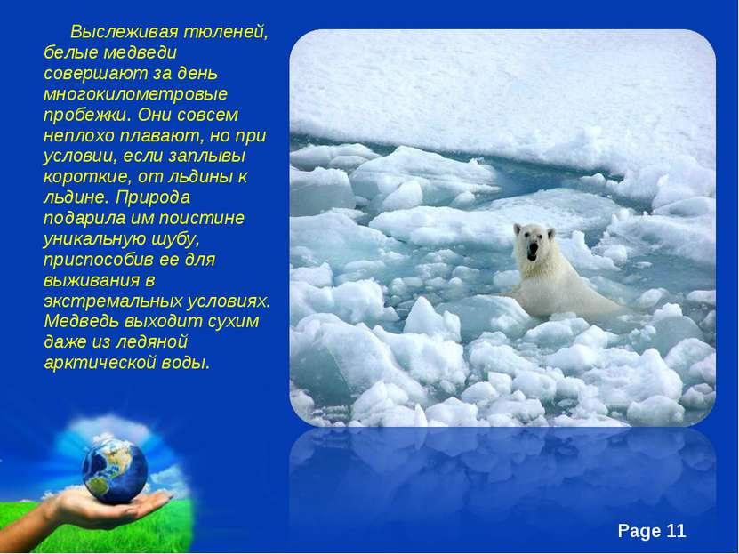 Выслеживая тюленей, белые медведи совершают за день многокилометровые пробежк...