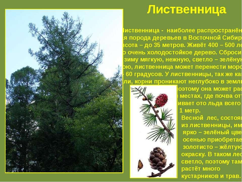 Лиственница - наиболее распространён – ная порода деревьев в Восточной Сибири...