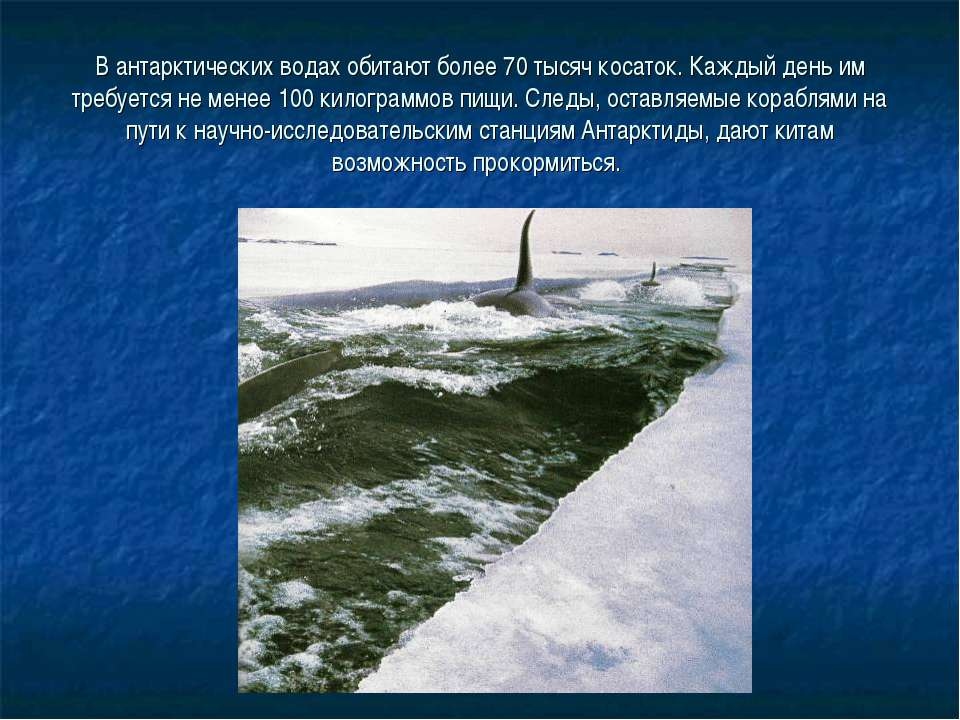 В антарктических водах обитают более 70 тысяч косаток. Каждый день им требует...