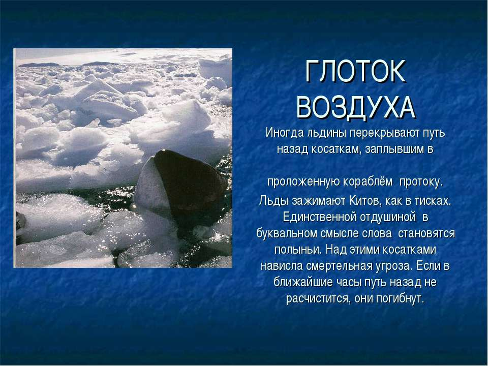 ГЛОТОК ВОЗДУХА Иногда льдины перекрывают путь назад косаткам, заплывшим в про...