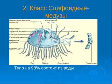 2. Класс Сцифоидные- медузы Тело на 98% состоит из воды