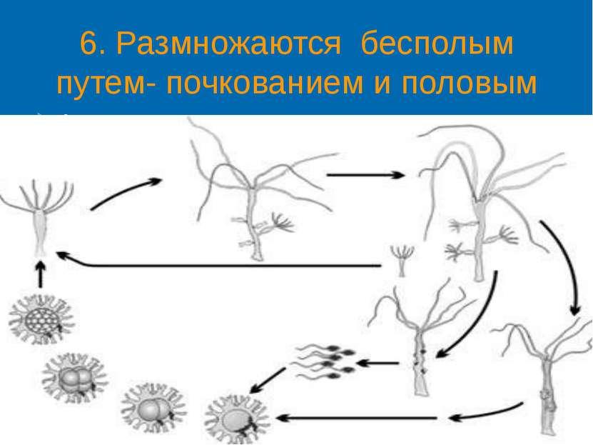 6. Размножаются бесполым путем- почкованием и половым путем. Активно плавающи...
