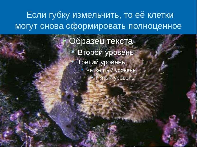 Если губку измельчить, то её клетки могут снова сформировать полноценное живо...