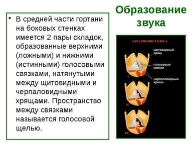 Образование звука В средней части гортани на боковых стенках имеется 2 пары с...